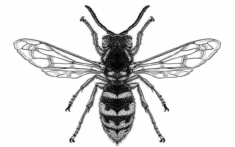 Illustration einer echten Wespe