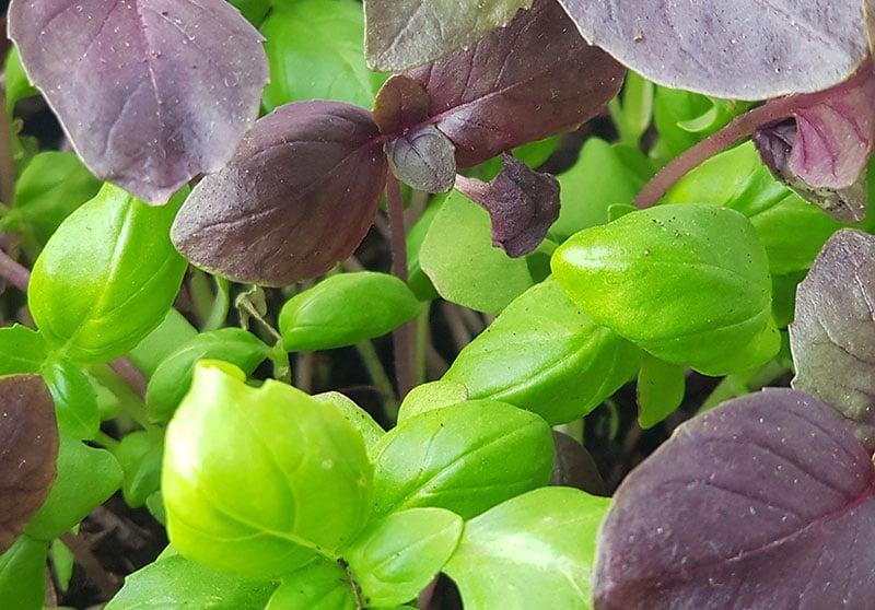 roter und grüner Basilikum im Garten