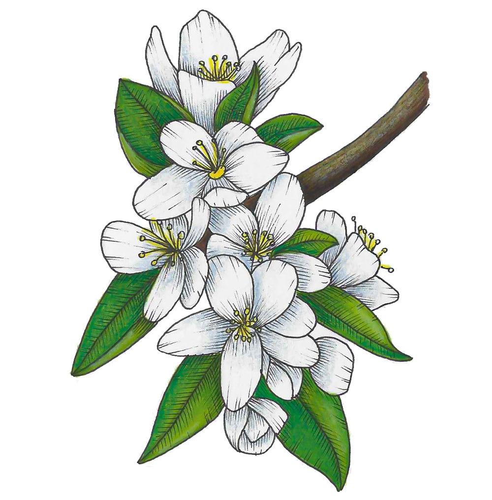 Nahaufnahme einer Apfelbaum Blühte (Illustration)