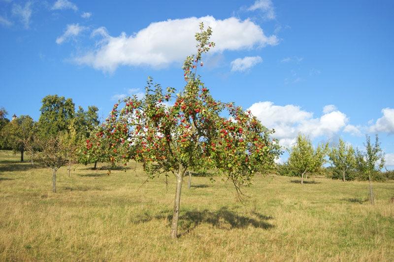 Apfelbaum mit Pyramidenkrone und reifen Äpfeln auf einer Streuobstwiese