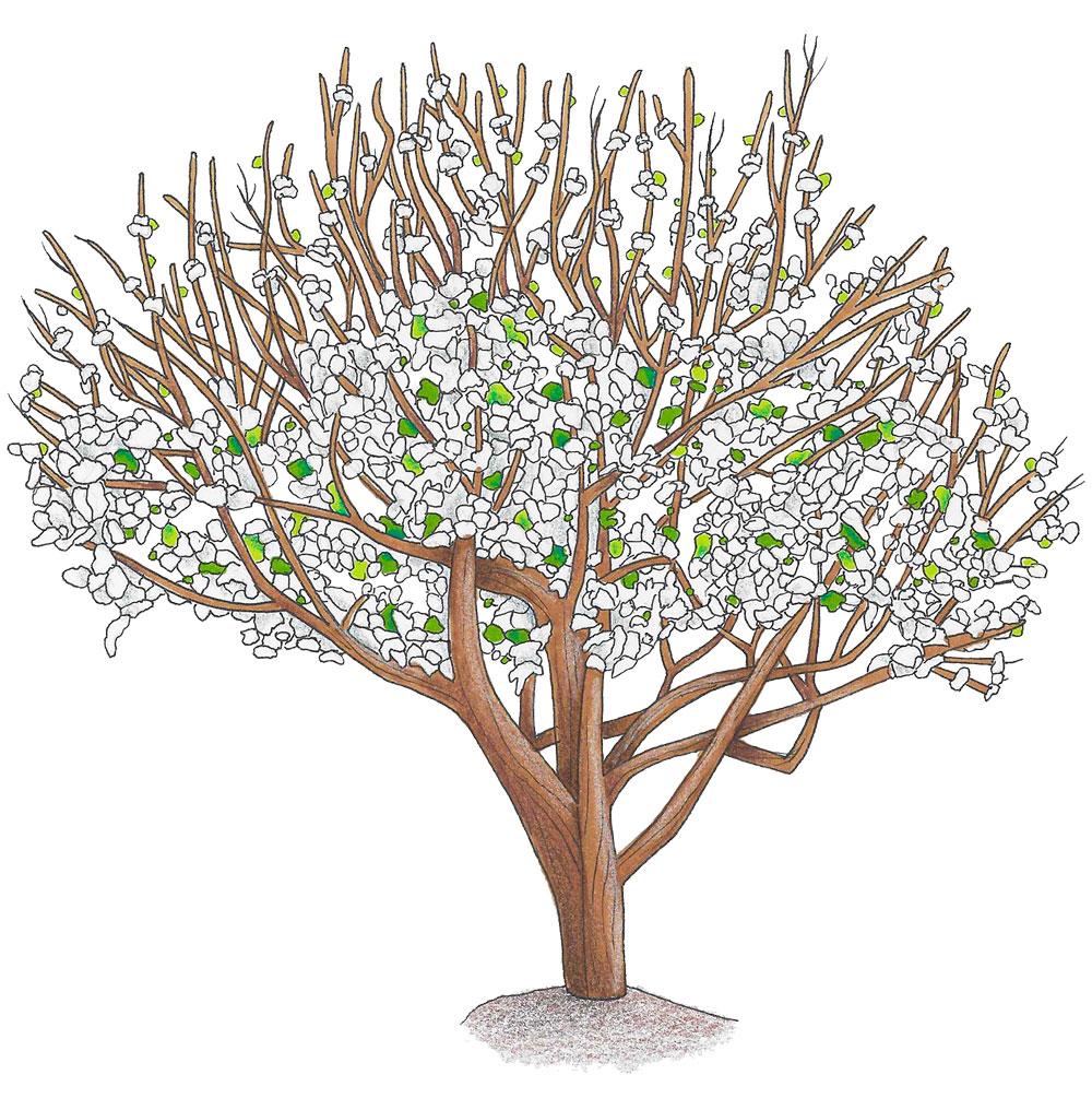 Blühender Apfelbaum (Illustration)