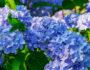Lila Blaue Blühte einer Hortensie