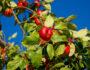 Apfelbaum mit roten Äpfeln