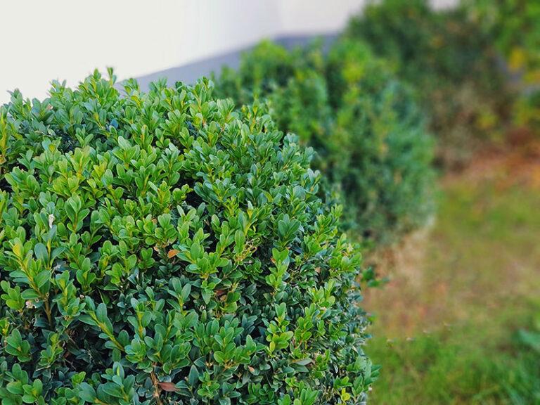 Buchsbaum mit rundem Schnitt