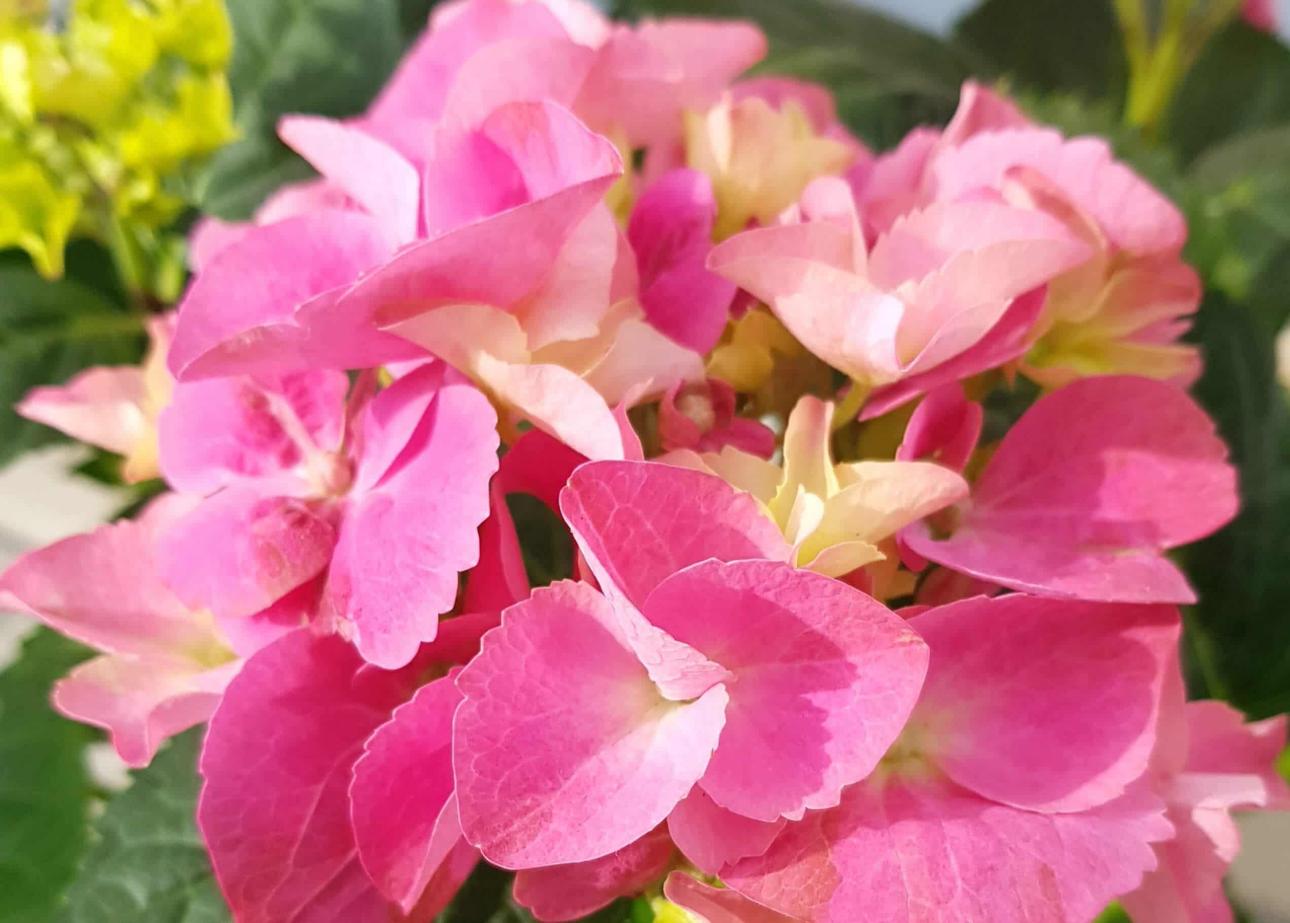 Rosa Bauernhortensie