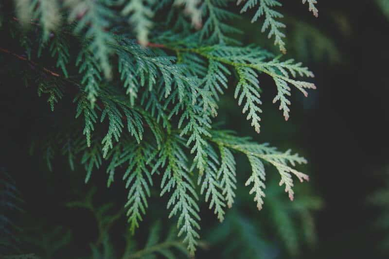 Thuja Blätter
