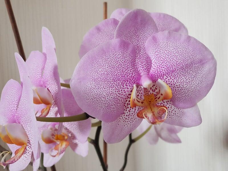 Gepflegte Orchidee