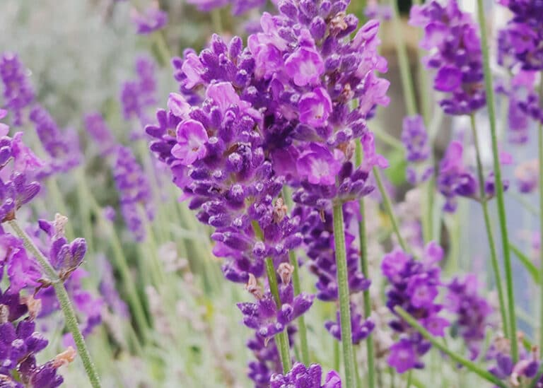 Gepflegter Lavendel