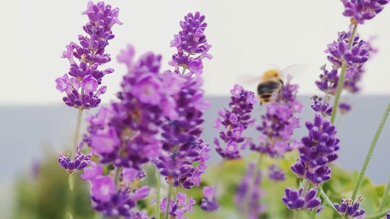 Feld mit Lavendel