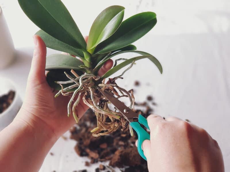 Orchidee umtopfen 2