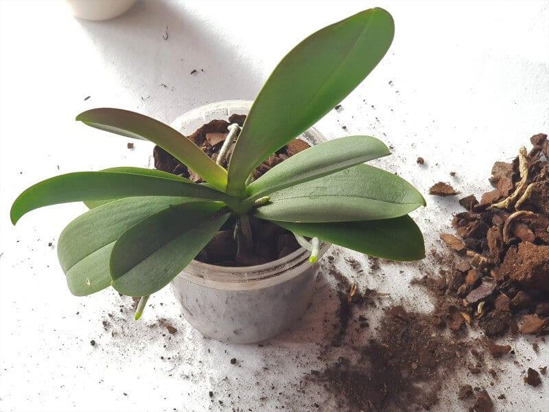 Orchidee umtopfen 4